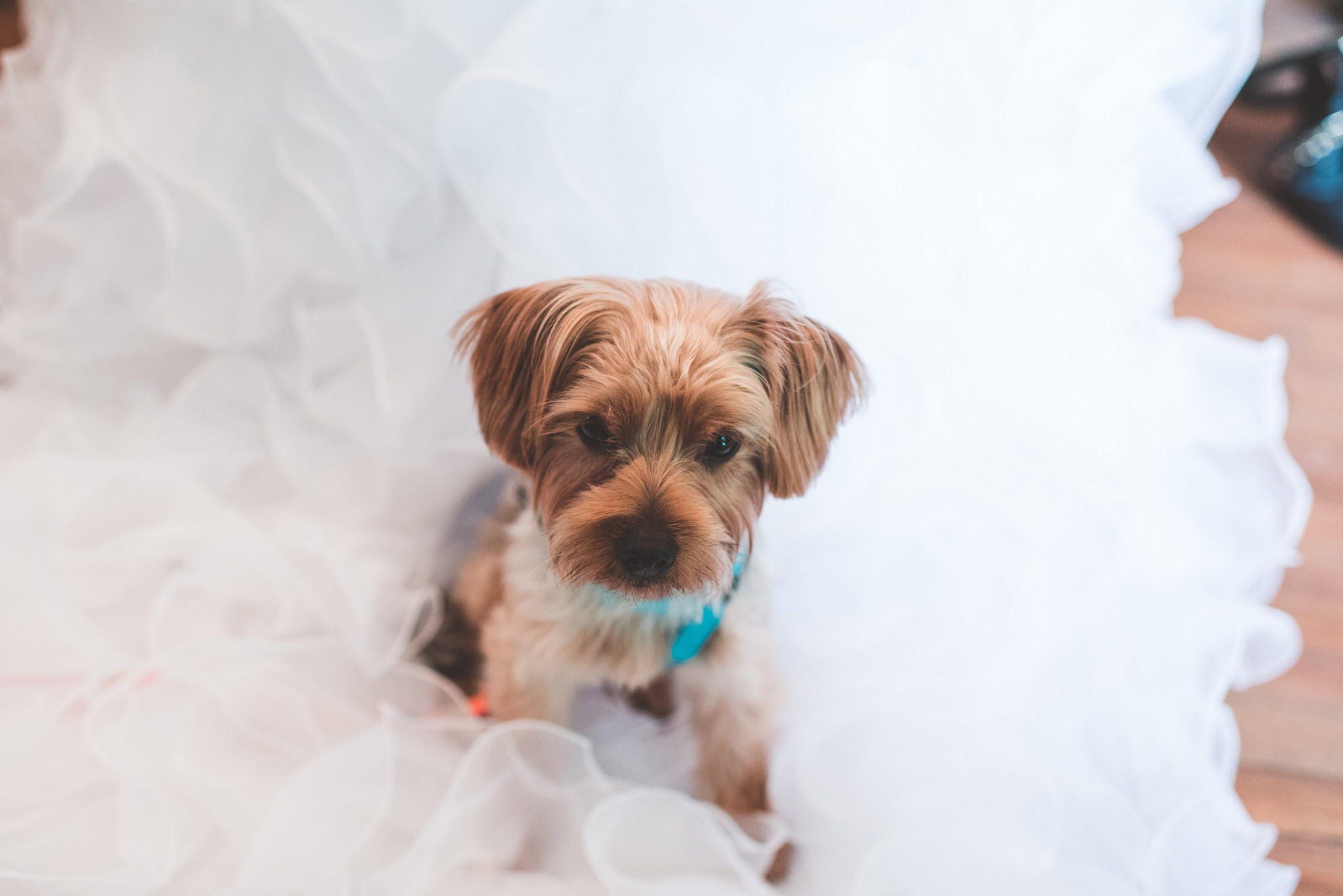 puppy, wedding, bridal, cute